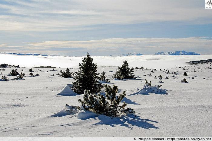 Désert blanc du Carlit, sapins (La Bollosa, Pyrénées-Orientales, France)