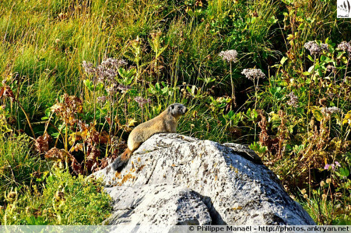 Marmotte sur son rocher (Savoie, France)