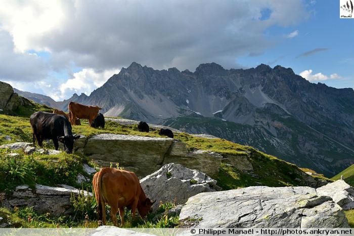 Troupeau de vaches tarines, massif de la Vanoise (Savoie, France)
