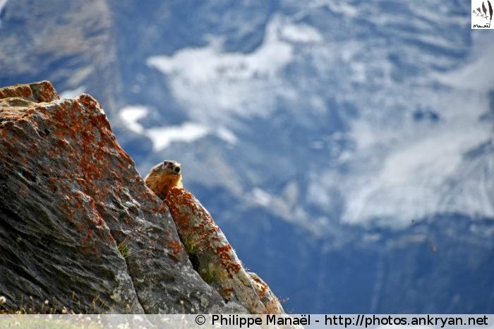 Marmotte au Plan du Sel, vallée de Champagny-le-haut (Vanoise, Savoie, France)