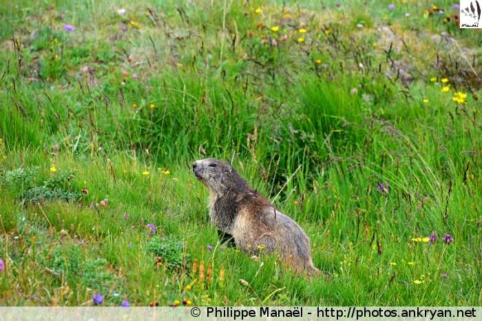 Marmotte au Plan des Nettes, vallon de la Leisse (Vanoise, Savoie, France)