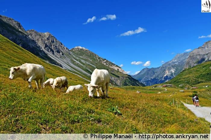 Vaches blanches, vallée de Chavière (Pralognan-la-Vanoise, Savoie, France)