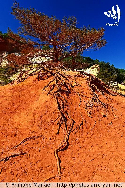 Colorado provençal de Rustrel : racines, Luberon (Provence, Vaucluse, France)