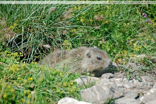 Une marmotte coquine au lac d'Egorgéou (Queyras, France)